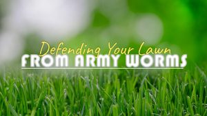 Defending your lawn from army worms