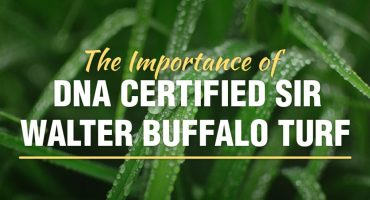 The Importance of DNA Certified Sir Walter Buffalo Turf