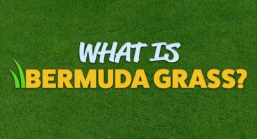 What is Bermuda Grass?